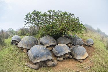 Volcan Alcedo Giant Tortoise (Chelonoidis nigra vandenburghi) group huddled under small shrub, Alcedo Volcano, Isabela Island, Ecuador  -  Tui De Roy