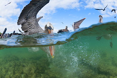 Brown Pelican (Pelecanus occidentalis) flock fishing in shallow water, Borrero Bay, Santa Cruz Island, Ecuador  -  Tui De Roy