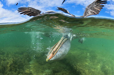 Brown Pelican (Pelecanus occidentalis) with pouch distended for catching fish in shallow water, Borrero Bay, Santa Cruz Island, Ecuador  -  Tui De Roy