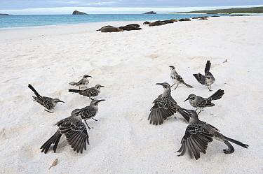 Hood Mockingbird (Nesomimus macdonaldi) family in territorial confrontation called a 'flick fight', Gardner Bay, Espanola Island, Ecuador  -  Tui De Roy