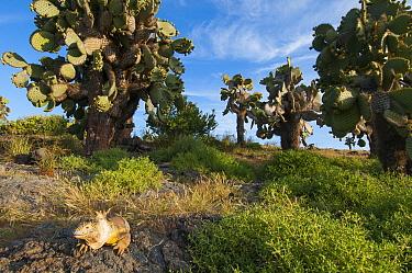 Galapagos Land Iguana (Conolophus subcristatus) in Opuntia (Opuntia sp) cactus habitat, Plazas Island, Ecuador  -  Tui De Roy