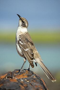 Galapagos Mockingbird (Nesomimus parvulus), Tortuga Bay, Santa Cruz Island, Ecuador  -  Tui De Roy