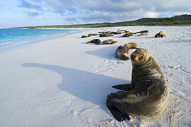 Galapagos Sea Lion (Zalophus wollebaeki) group on beach, Gardner Bay, Espanola Island, Ecuador  -  Tui De Roy