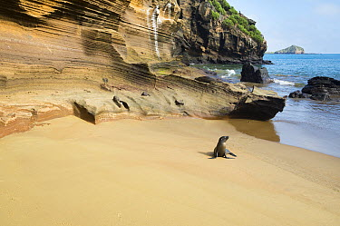 Galapagos Sea Lion (Zalophus wollebaeki) on beach, Punta Pitt, San Cristobal Island, Ecuador  -  Tui De Roy