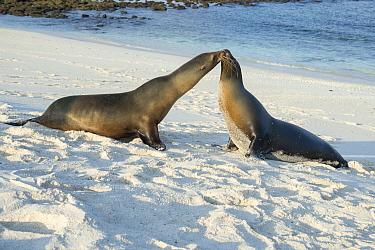 Galapagos Sea Lion (Zalophus wollebaeki) pair on beach, Mosquera Islet, Ecuador  -  Tui De Roy