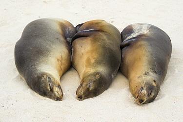 Galapagos Sea Lion (Zalophus wollebaeki) trio lying in sand, Santa Fe Island, Ecuador  -  Tui De Roy