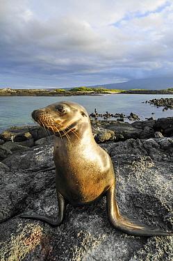 Galapagos Sea Lion (Zalophus wollebaeki)pn lava short, Punta Espinosa, Fernandina Island, Ecuador  -  Tui De Roy