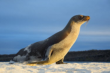 Galapagos Sea Lion (Zalophus wollebaeki), Mosquera Islet, Ecuador  -  Tui De Roy
