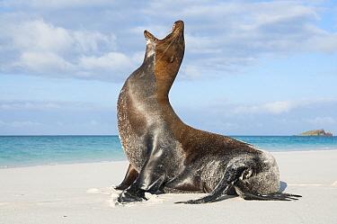 Galapagos Sea Lion (Zalophus wollebaeki) calling, Gardner Beach, Espanola Island, Ecuador  -  Tui De Roy