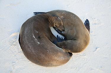 Galapagos Sea Lion (Zalophus wollebaeki) pair sleeping, Gardner Beach, Espanola Island, Ecuador  -  Tui De Roy