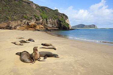 Galapagos Sea Lion (Zalophus wollebaeki) group hauled out, Punta Pitt, San Cristobal Island, Ecuador  -  Tui De Roy
