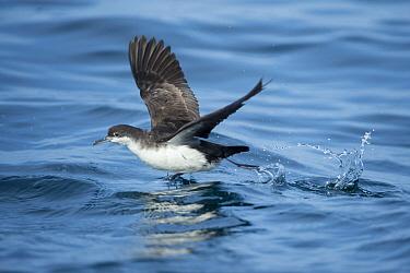 Galapagos Shearwater (Puffinus subalaris) taking flight, Punta Vicente Roca, Isabela Island, Ecuador  -  Tui De Roy