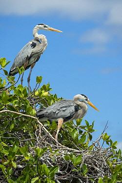 Great Blue Heron (Ardea herodias) pair at nest, Borrero Bay, Santa Cruz Island, Ecuador  -  Tui De Roy