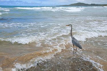 Great Blue Heron (Ardea herodias) in surf, Puerto Villamil, Isabela Island, Ecuador  -  Tui De Roy