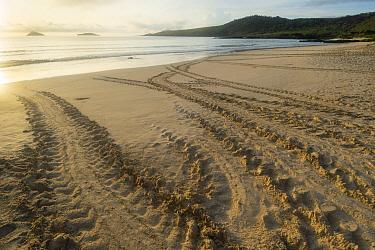 Green Sea Turtle (Chelonia mydas) tracks on beach, Punta Cormorant, Floreana Island, Ecuador  -  Tui De Roy