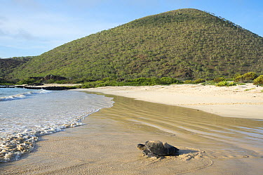 Green Sea Turtle (Chelonia mydas) female on beach, Punta Cormorant, Floreana Island, Ecuador  -  Tui De Roy