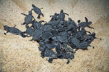 Green Sea Turtle (Chelonia mydas) hatchlings emerging from sand, Borrero Bay, Santa Cruz Island, Ecuador  -  Tui De Roy