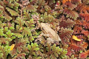 Fowler's Snouted Treefrog (Scinax quinquefasciatus) an introduced species first recorded on the Galapagos in 1998, Academy Bay, Santa Cruz Island, Ecuador  -  Tui De Roy