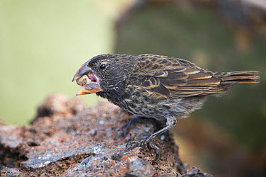 Large Ground Finch (Geospiza magnirostris) feeding on a seed, Ecuador  -  Tui De Roy
