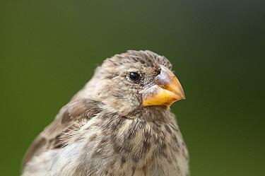 Large Ground Finch (Geospiza magnirostris), Academy Bay, Santa Cruz Island, Ecuador  -  Tui De Roy