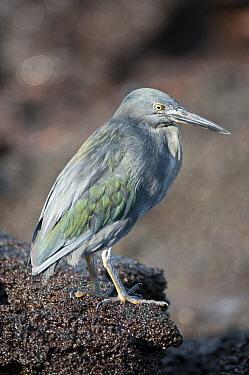 Lava Heron (Butorides sundevalli), Sombrero Chino Island, Santiago Island, Ecuador  -  Tui De Roy