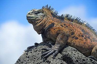 Marine Iguana (Amblyrhynchus cristatus), Tortuga Bay, Santa Cruz Island, Ecuador  -  Tui De Roy