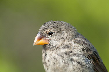 Medium Ground-Finch (Geospiza fortis), Academy Bay, Santa Cruz Island, Ecuador  -  Tui De Roy