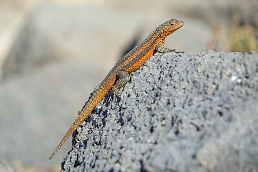 Pinzon Lava Lizard (Microlophus duncanensis) female, Pinzon Island, Ecuador  -  Tui De Roy