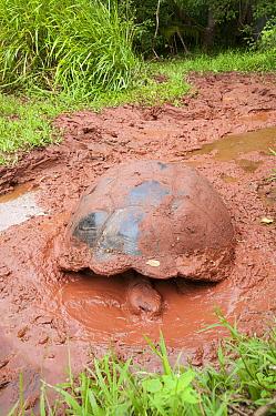 Indefatigable Island Tortoise (Chelonoidis porteri) taking a mud bath, El Chato Tortoise Reserve, Santa Cruz Island, Ecuador  -  Tui De Roy