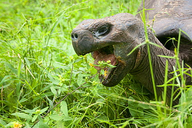 Indefatigable Island Tortoise (Chelonoidis porteri) feeding, Rancho Primicias, Santa Cruz Island, Ecuador  -  Tui De Roy