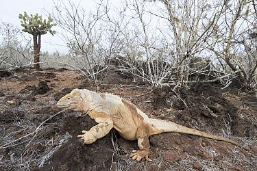 Santa Fe Land Iguana (Conolophus pallidus), Santa Fe Island, Ecuador  -  Tui De Roy