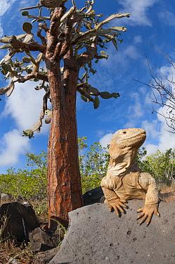 Santa Fe Land Iguana (Conolophus pallidus) and Opuntia, Santa Fe Island, Ecuador  -  Tui De Roy
