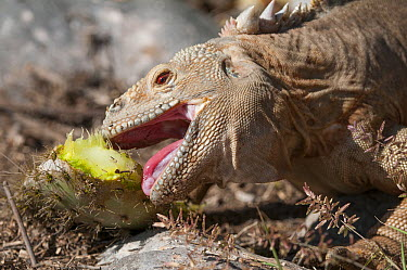 Santa Fe Land Iguana (Conolophus pallidus) eating a cactus pad, Santa Fe Island, Ecuador  -  Tui De Roy