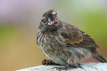 Small Ground-Finch (Geospiza fuliginosa) with an advanced case of introduced avian pox disease, Academy Bay, Santa Cruz Island, Ecuador  -  Tui De Roy