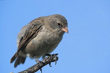 Small Ground-Finch (Geospiza fuliginosa), Academy Bay, Santa Cruz Island, Ecuador  -  Tui De Roy