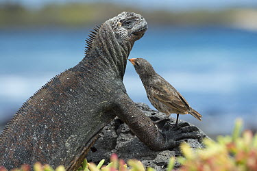 Small Ground-Finch (Geospiza fuliginosa) feeding on skin parasites of Marine Iguana (Amblyrhynchus cristatus), Santa Cruz Island, Ecuador  -  Tui De Roy