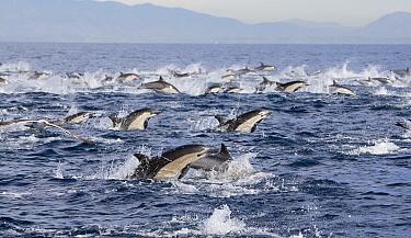 Common Dolphin (Delphinus delphis) pod surfacing, San Diego, California  -  Richard Herrmann