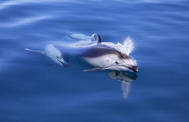 Pacific White-sided Dolphin (Lagenorhynchus obliquidens) pair surfacing, Nine Mile Bank, San Diego, California  -  Richard Herrmann