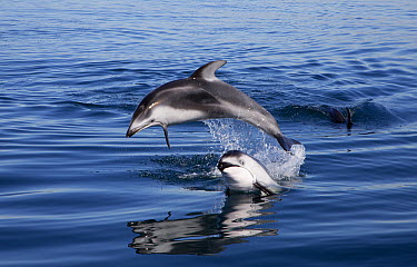Pacific White-sided Dolphin (Lagenorhynchus obliquidens) pair jumping, Nine Mile Bank, San Diego, California  -  Richard Herrmann
