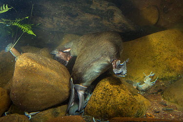 Platypus (Ornithorhynchus anatinus) male catching Common Yabby (Cherax destructor), native to Australia  -  D. Parer & E. Parer-Cook