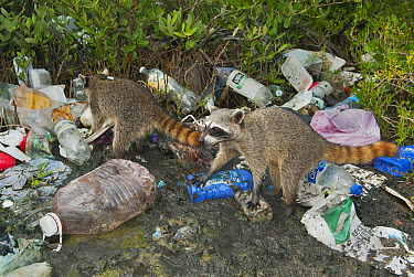 Pygmy Raccoon (Procyon pygmaeus) pair foraging through washed up garbage, Cozumel Island, Mexico  -  Kevin Schafer