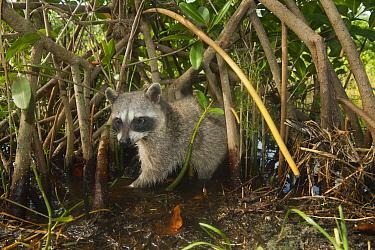 Pygmy Raccoon (Procyon pygmaeus) foraging in mangroves, Cozumel Island, Mexico  -  Kevin Schafer