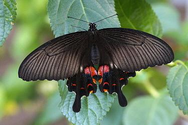 Spangle Swallowtail (Papilio protenor) butterfly, Japan  -  Hiroya Minakuchi