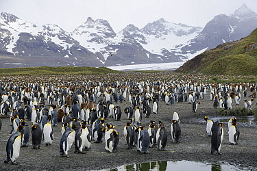 King Penguin (Aptenodytes patagonicus) colony, Salisbury Plain, South Georgia  -  Hiroya Minakuchi