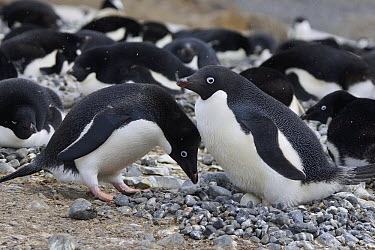 Adelie Penguin (Pygoscelis adeliae) pair engaging in courtship ritual before trading incubation duties at nest, South Georgia. Sequence 5 of 10.  -  Hiroya Minakuchi