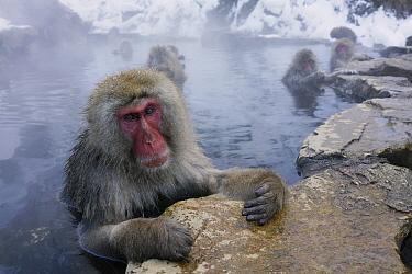 Japanese Macaque (Macaca fuscata) in thermal pool, Jigokudani, Japan  -  Hiroya Minakuchi
