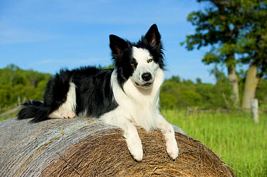 Border Collie (Canis familiaris) atop a hay bale  -  Mark Raycroft