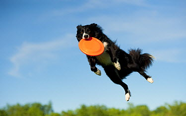 Border Collie (Canis familiaris) catching a frisbee  -  Mark Raycroft