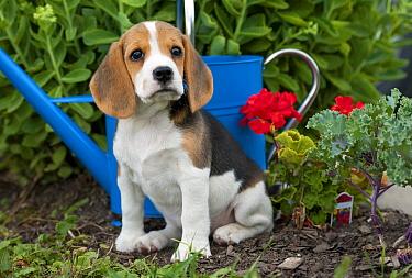 Beagle (Canis familiaris) puppy  -  Mark Raycroft