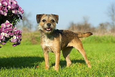 Border Terrier (Canis familiaris)  -  Mark Raycroft